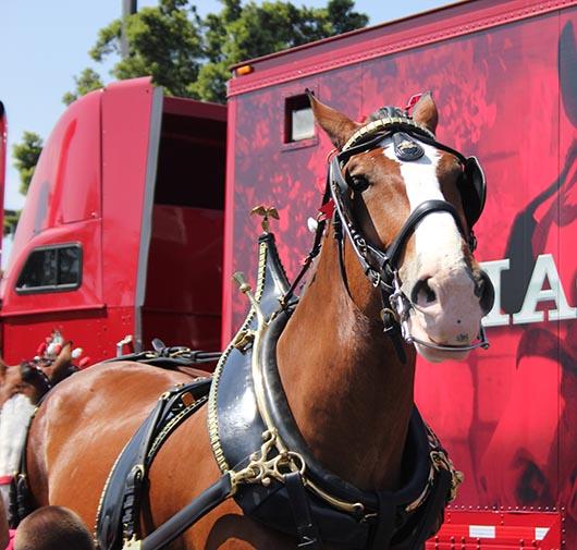 Carruaje Budweiser recorre calles de Santa Ana