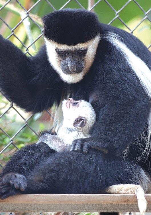 Santa Ana Zoo anuncia ¡el nacimiento de cuatro monkeys!