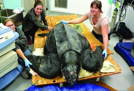 Rescatan una extraña tortuga laúd de 215 kilos